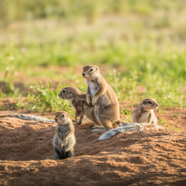 """""""Group of Ground squirrels in the sand."""" stock image"""