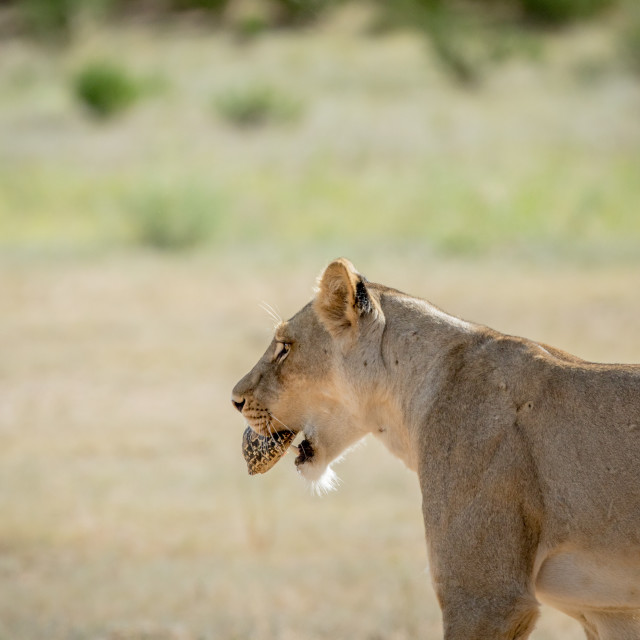 """""""Lioness with Leopard tortoise in the mouth."""" stock image"""