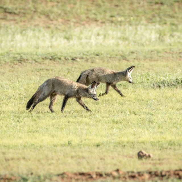 """""""Bat-eared foxes walking in the grass."""" stock image"""