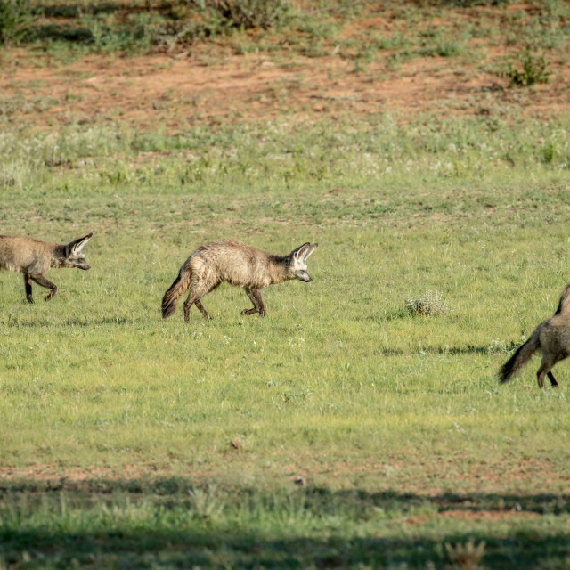 """""""Family of Bat-eared foxes walking in the grass."""" stock image"""