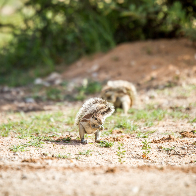 """""""Ground squirrel eating some grass."""" stock image"""