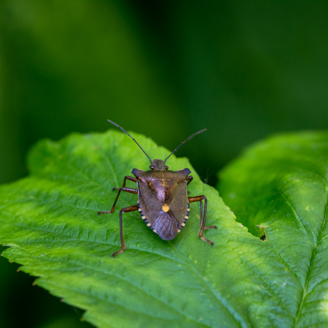 """A Stink Bug"" stock image"