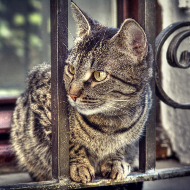 """Tabby cat with yellow eyes looking attentive from a window fence, feline..."" stock image"