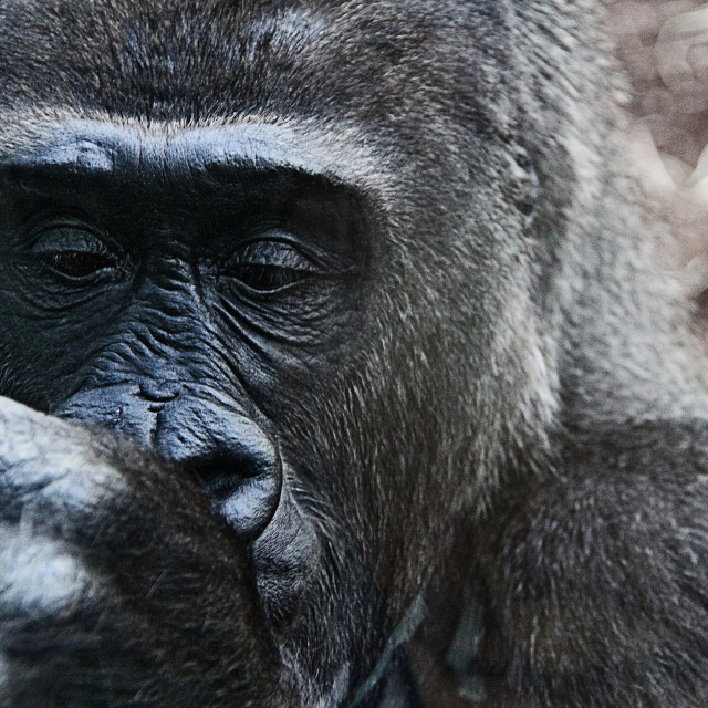 """Gorilla, wildlife portrait"" stock image"