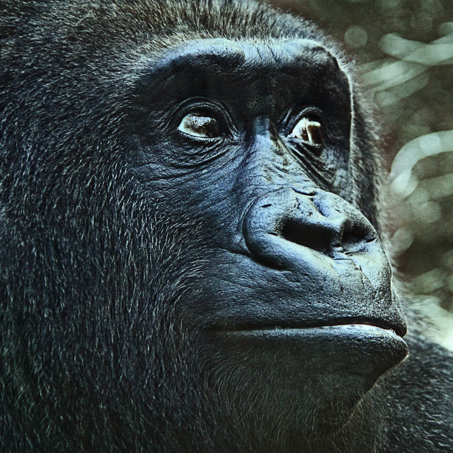 """Gorilla with sad expression, animal portrait"" stock image"