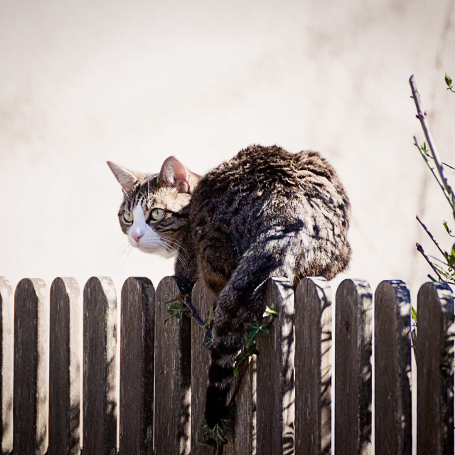 """Tabby cat on a wooden fence"" stock image"