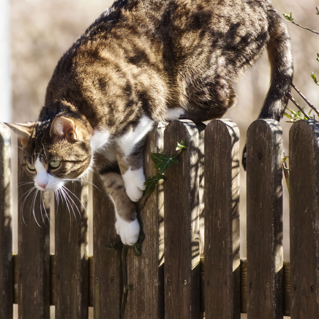 """Tabby cat jumping down a fence"" stock image"