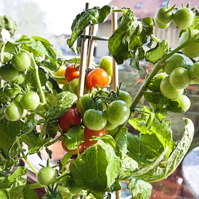 """Gardening, cherry tomatoes on plant ready to harvest"" stock image"