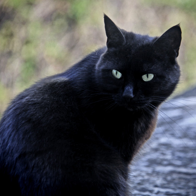 """Black male cat with green eyes portrait"" stock image"