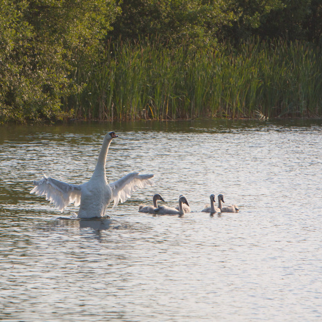 """""""Swans in the Evening"""" stock image"""