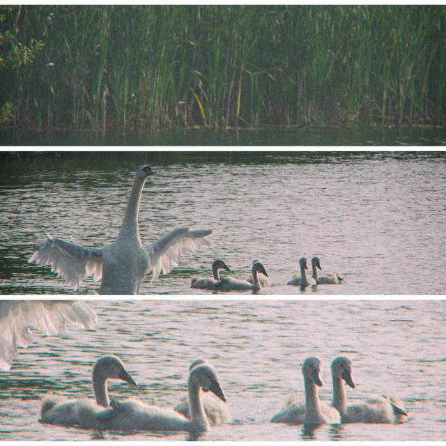 """Swan Triptych"" stock image"