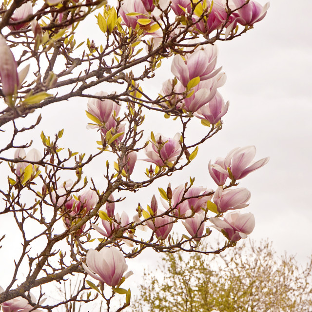 """Magnolia x soulangeana branches with delicate pink flowers in spring"" stock image"