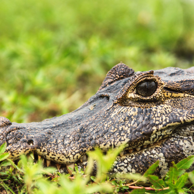 """Caiman's Eye"" stock image"