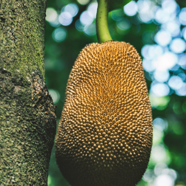 """Lonely Jackfruit"" stock image"