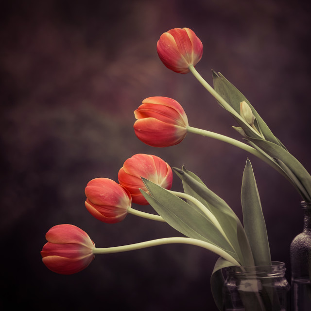 """Five Tulips"" stock image"