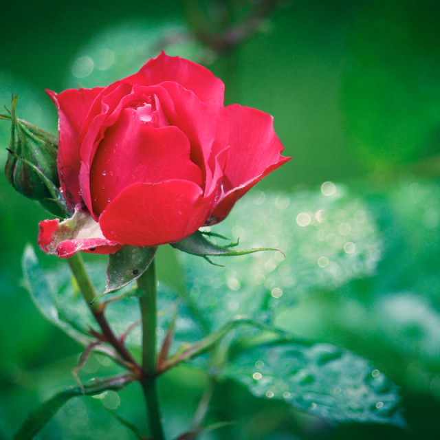 """Rainy Rose"" stock image"