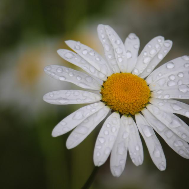 """""""Rainy Daisy"""" stock image"""