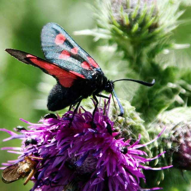 """Five Spot Burnet Moth"" stock image"