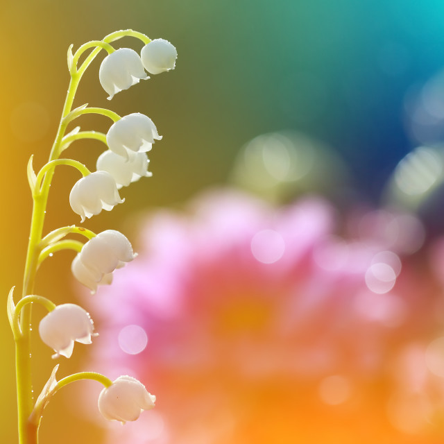 """""""May lily in beautiful colors."""" stock image"""