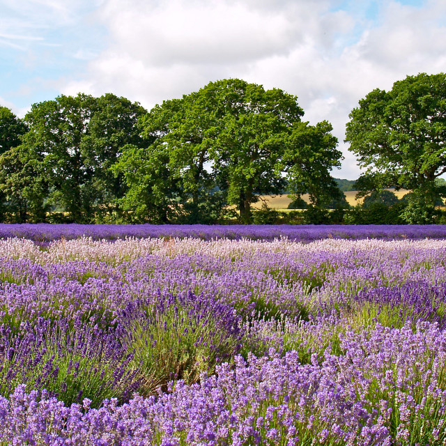 """Hampshire Lavender"" stock image"