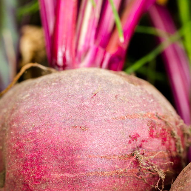 """""""Beetroots fresh picked in home garden"""" stock image"""