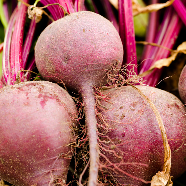 """Beetroots fresh picked in home garden"" stock image"