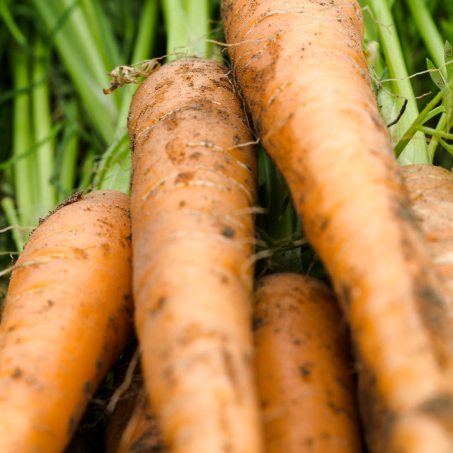 """""""Fresh picked carrots close up backgrounds"""" stock image"""