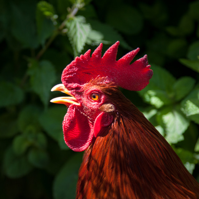 """Red cockerel head shot."" stock image"