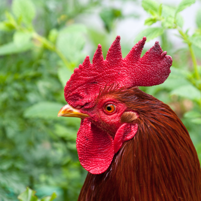 """Red cockerel in profile"" stock image"