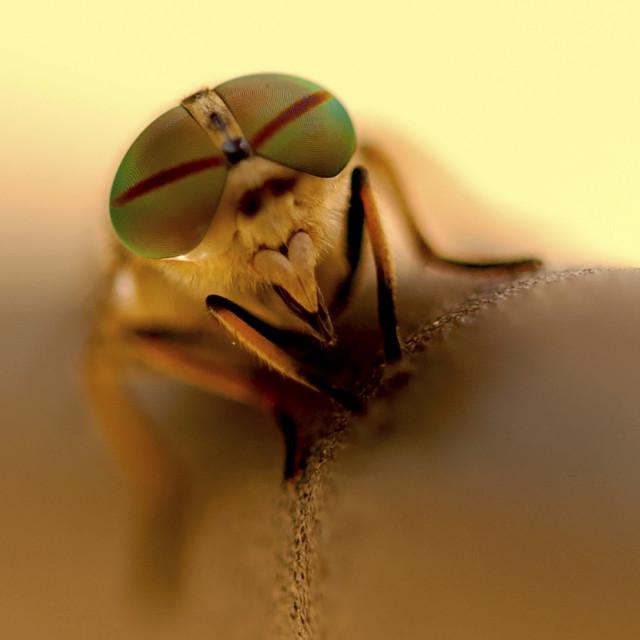 """Aviator bug"" stock image"