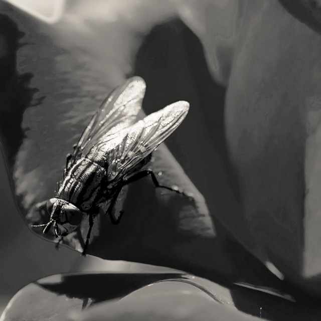 """""""Fly on a rose 2"""" stock image"""