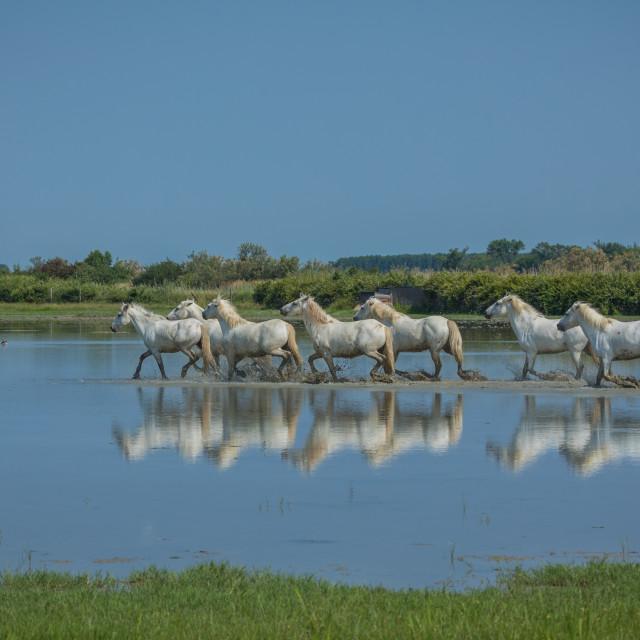 """""""Camargue horses"""" stock image"""
