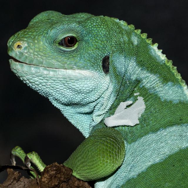 """Male Fiji Banded Iguana Closeup"" stock image"