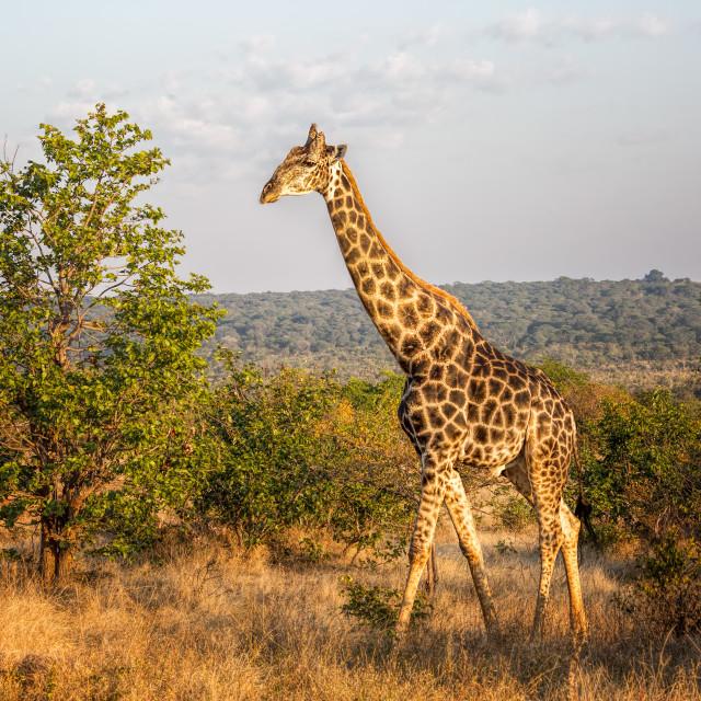 """""""Elegant Giraffe"""" stock image"""