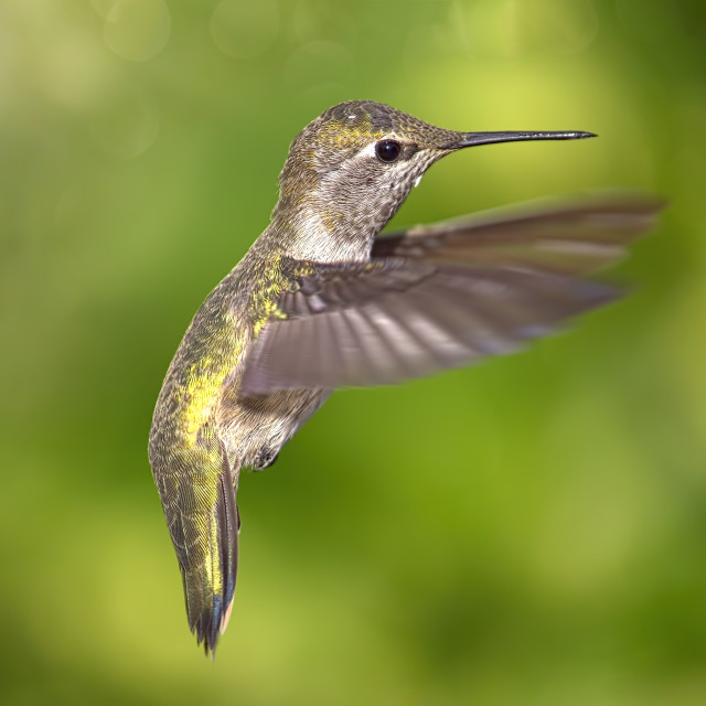 """Hummingbird in Flight"" stock image"
