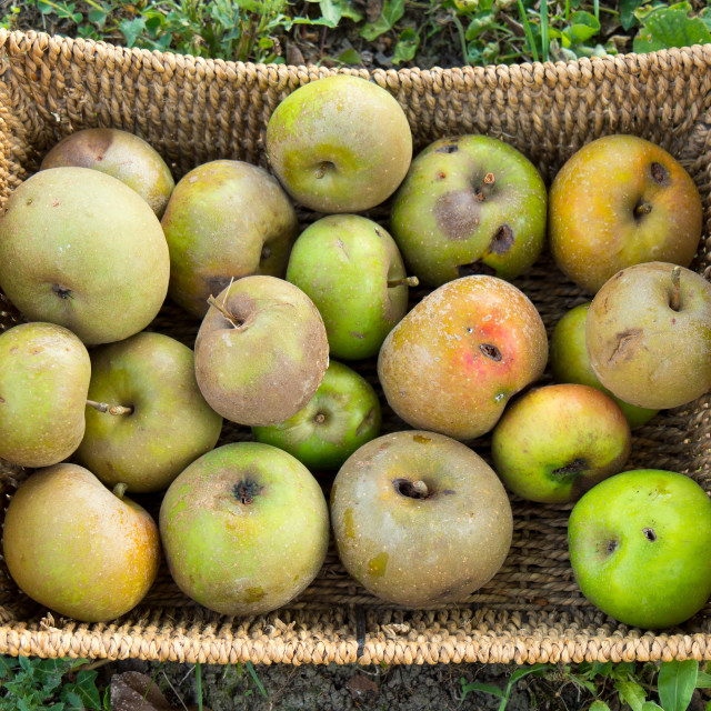 """""""Small basket of apples in the garden"""" stock image"""