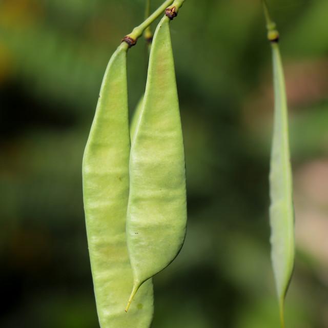 """Seed of Flamboyant flower"" stock image"
