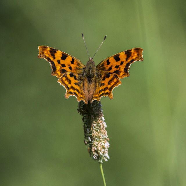 """Comma Butterfly Posing"" stock image"