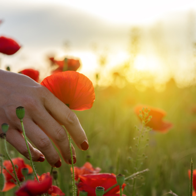 """hand poppies field"" stock image"
