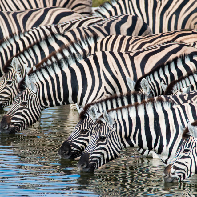 """Zebras at a waterhole in Serengeti National Park, Tanzania"" stock image"