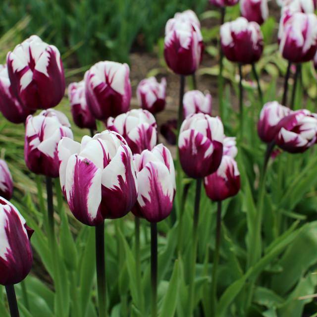 """Mauve and white Tulips"" stock image"