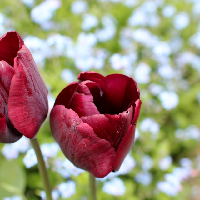 """Burgundy Tulips"" stock image"
