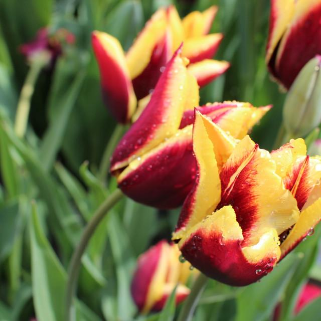 """Burgundy and yellow Tulips"" stock image"
