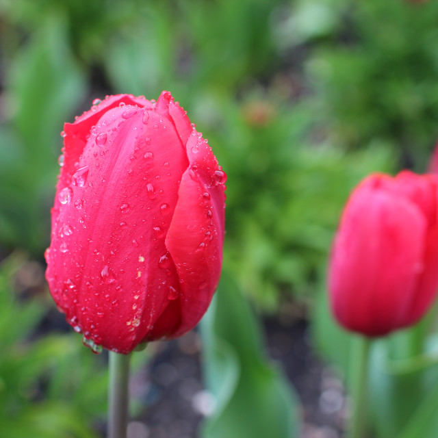 """""""Red Tulips"""" stock image"""