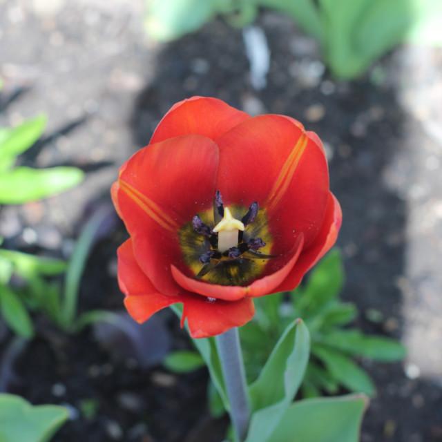 """""""Orange Tulips"""" stock image"""