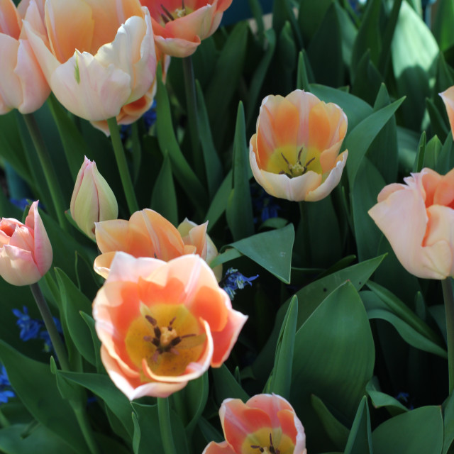 """Apricot Tulips"" stock image"