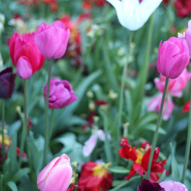 """Pink Tulips"" stock image"
