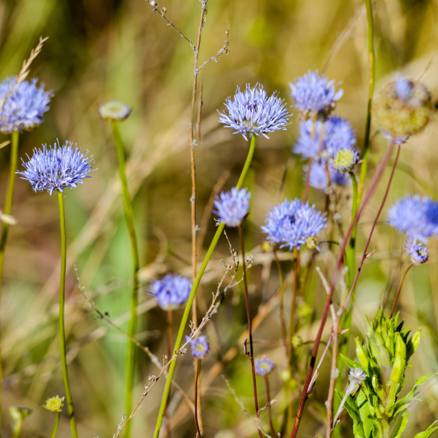"""Jasione montana under the summer sun"" stock image"
