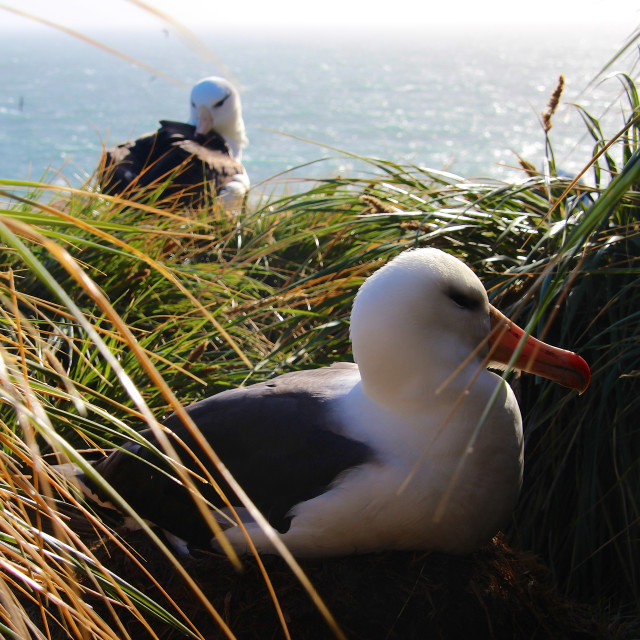 """Black-browed albatross on the Falkland Islands"" stock image"