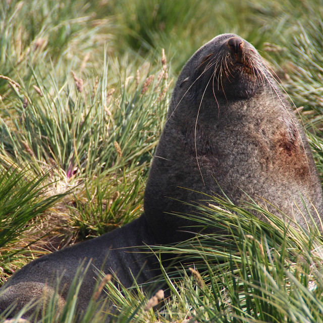 """Antarctic Fur seal, South Georgia"" stock image"